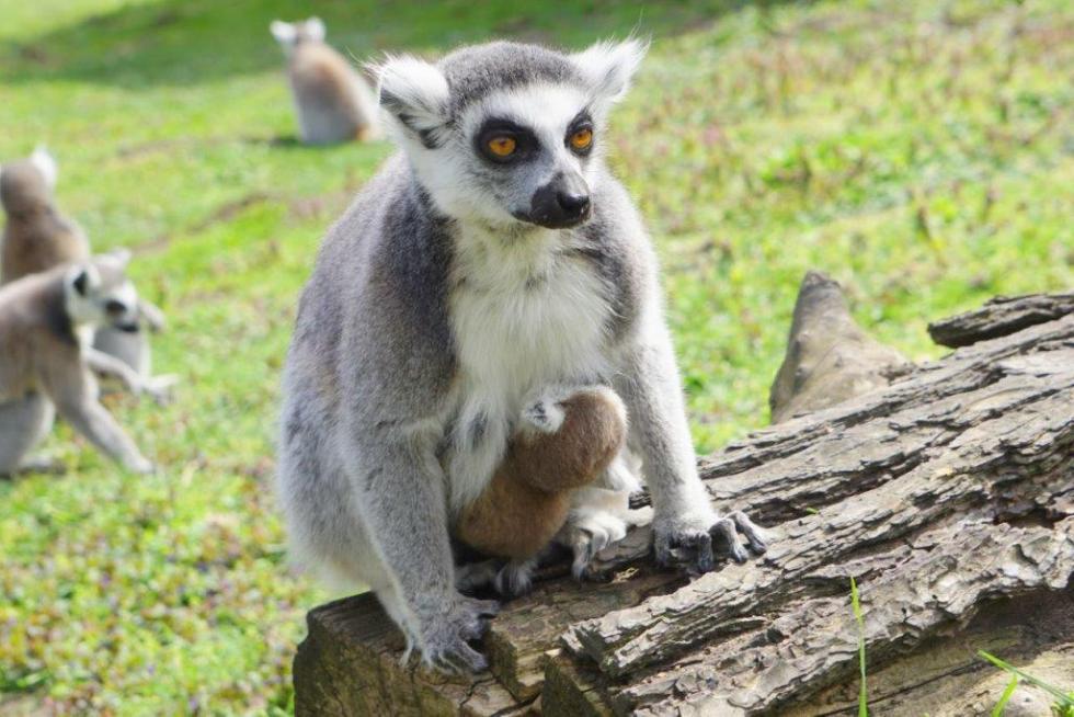 Nowi mieszkańcy ZOO Wrocław - lemury katta przyszły na świat
