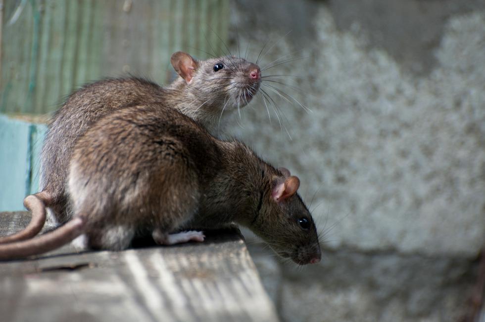 Jesienna walka ze szczurami weWrocławiu